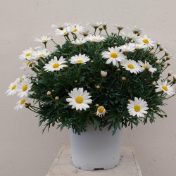 Margeritten Pflanze